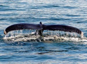 Reiki Northern VA humpbackfluke
